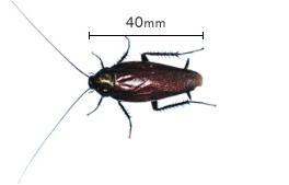 2西ノ島のゴキブリなぜ大繁殖?繁殖の理由と駆除の方法は?